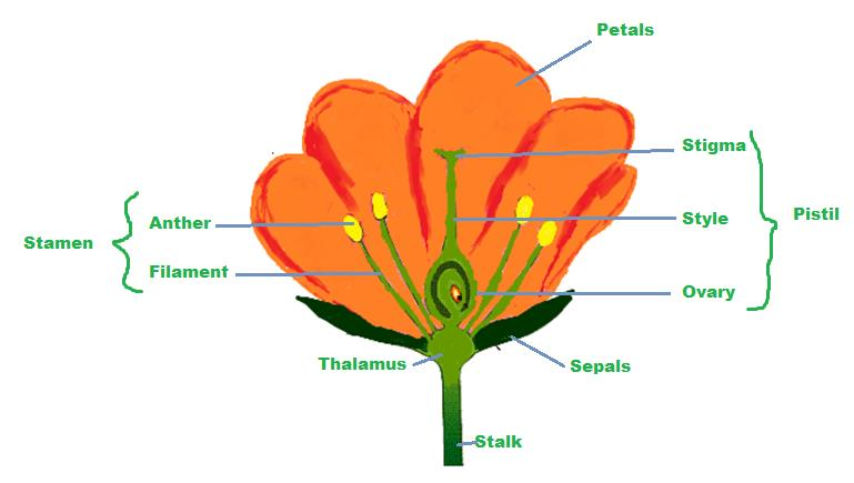 Class_7_Bio_Reproduction_in_Plants_Reproductive_Flower