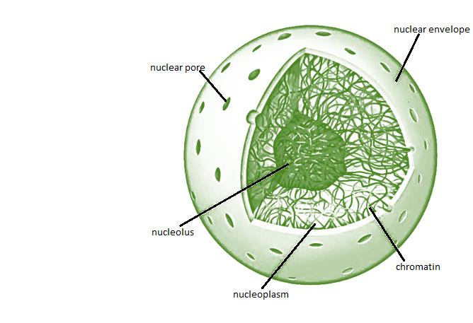 Class_11_Biology_Cell_Unit_Of_Life_Nucleus