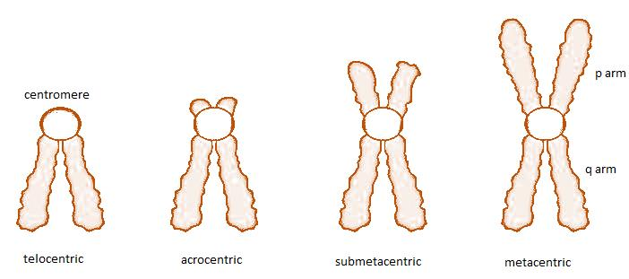 Class_11_Biology_Cell_Unit_Of_Life_Different_Types_Of_Chromosomes