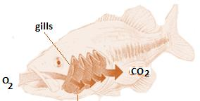 Class_11_Biology_Breathing_Exchange_of_Gases_Gills