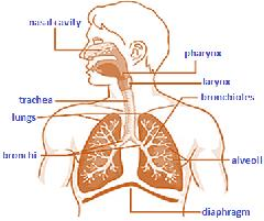 Class_11_Biology_Breathing_Exchange_of_Gases_Human_Respiratory_System1