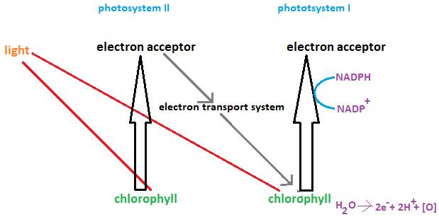 Class_11_Biology_Photosynthesis_in_Plants_Z_Scheme_Light_Reaction