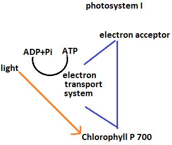 Class_11_Biology_Photosynthesis_in_Plants_Cyclic_Phosphorylation