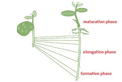 Class_11_Biology_Plant_Growth_And_Development_Phases_Of_Growth