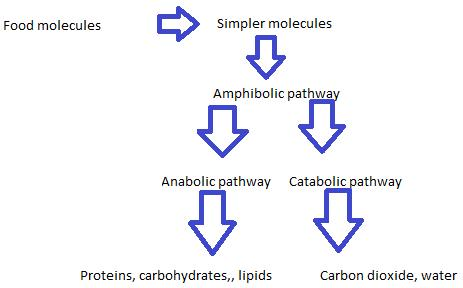Class_11_Biology_Respiration_In_Plants_Amphibolic_Pathway