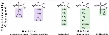 Class_12_BioMolecules_Electrically_Charged_Amino_Acids