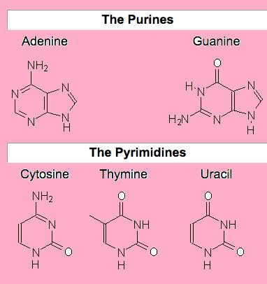 Class_12_BioMolecules_Purines_Pyrimidines