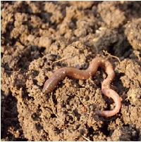 Class_11_Biology_AnimalKingdom_Earthworm