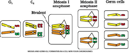 Class_12_Biology_Inheritance_And_Variation_Meiosis_&_Gem_Cell